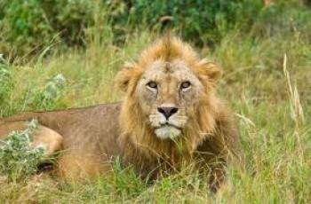 Safari Pak Lioness Gives Birth