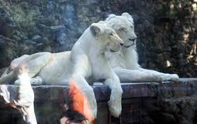 ... Karachi Zoo Lions