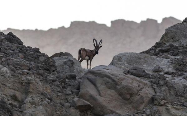 Ibex Hingol National Park