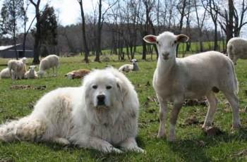 dog for livestock