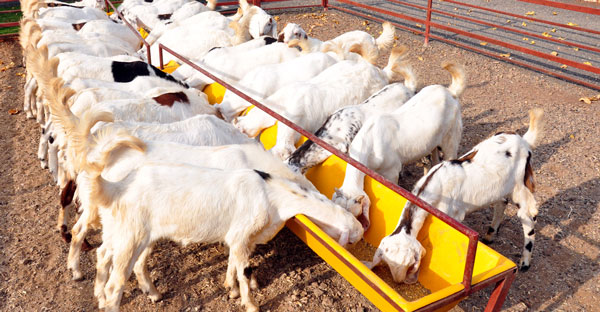 How to Start Goat Farming in Pakistan?