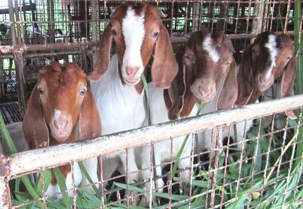 goats shelter